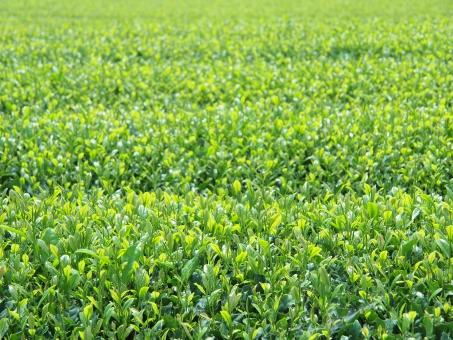 新茶の時期です!板橋区にあるお茶の㈱時田園 高島平店では、無病息災の延命茶 新茶 予約をしております。急須に入れた美味しい新茶をお試下さい